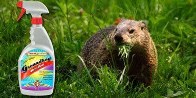 how to get rid of a groundhog in my backyard groundhog repellent repel groundhogs get rid of groundhogs