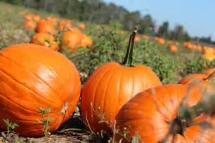 halloween pumpkin patches pumpkin wallpapers hd pixelstalk net