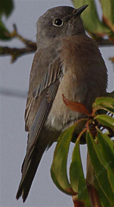 western bluebird likes bugs berries  native plants