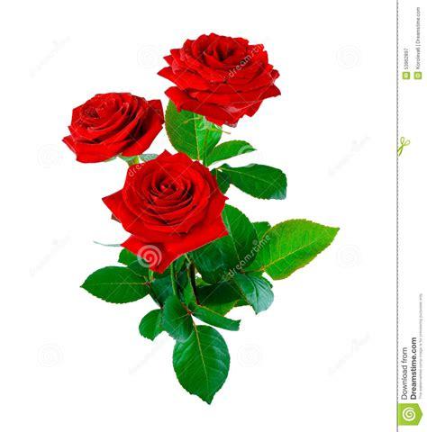 imagenes de rosas solas rosas rojas en un fondo blanco foto de archivo imagen