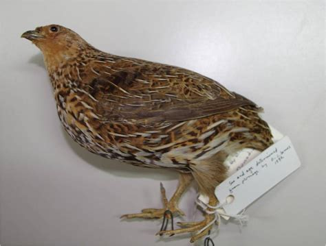 new zealand quail new zealand birds online