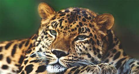 imagenes impactantes de felinos 191 d 243 nde viven los felinos