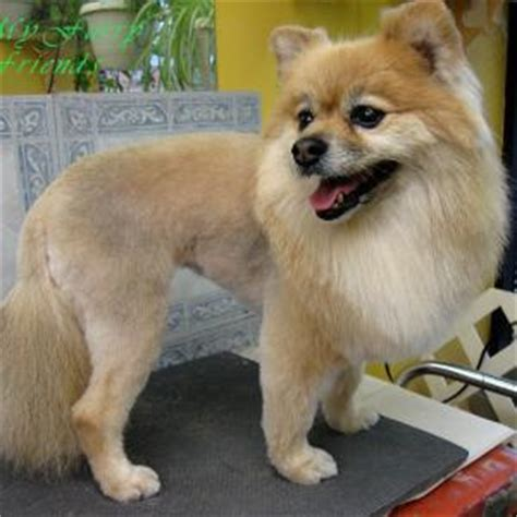 hair cut ideas for a pomeranian chihuahua mix my furry friends pet grooming self serve pet wash
