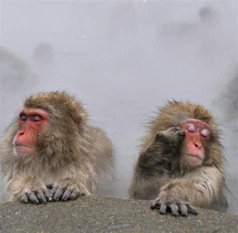 japanische möbel pavian diese affen h 246 ren sich an wie menschen welt