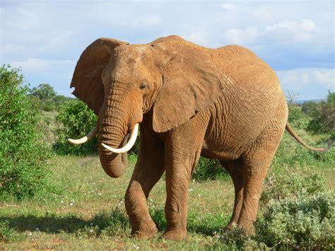 Elephant Bigsize Brown jokes bradley s animal place