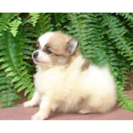 pomeranian breeders indiana poodles poms n more llc pomeranian breeder in syracuse indiana