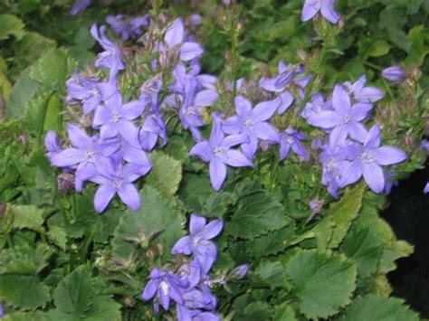 low ground cover perennials perennial evergreen part shade shade star shaped blue flowers