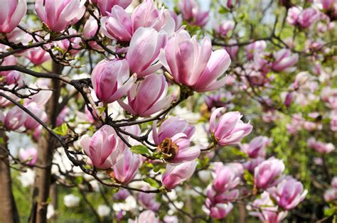 5 great magnolias for your landscaping tomlinson bomberger