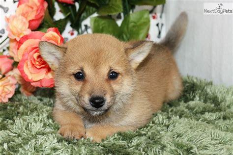 shiba inu puppies colorado shiba inu puppy for sale near denver colorado b7d12334 0e91