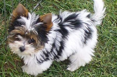 pug yorkie cross 14 terrier cross breeds you to see to believe