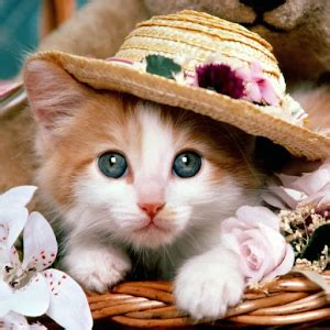 google images kittens cute kittens cat pictures android apps on google play