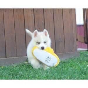 puppies bozeman mt pets bozeman mt free classified ads