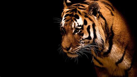 wallpaper hd black tiger tiger wallpaper marvelous hd desktop wallpapers 4k hd