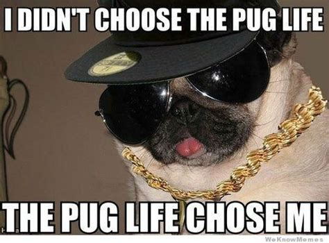 Pugs Meme - 20 funniest pug memes gifs and comics weknowmemes