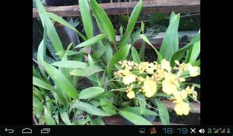 Bibit Tanaman Hias Euphorbia Merah bibit buah tanaman hias bunga anggrek lokal yang cantik