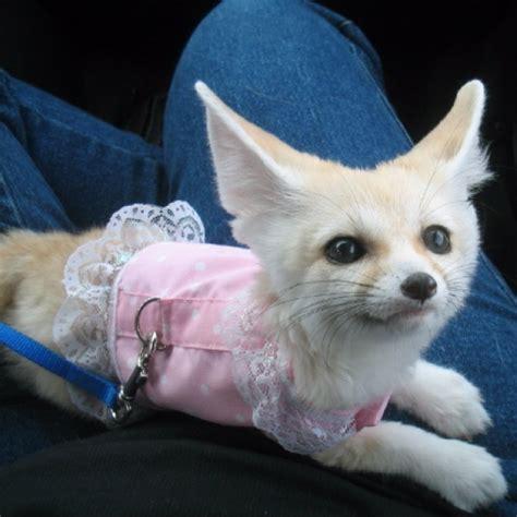 dress   fennec fox
