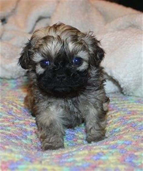shih tzu peekapoo mix 7 best images about 2nd on