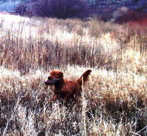 field bred golden retriever breeders field bred akc golden retriever puppies golden retrievers in arimo idaho lish