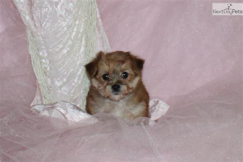 teddy puppies for sale near me morkie yorktese puppy for sale near dallas fort worth 87c44325 5f61