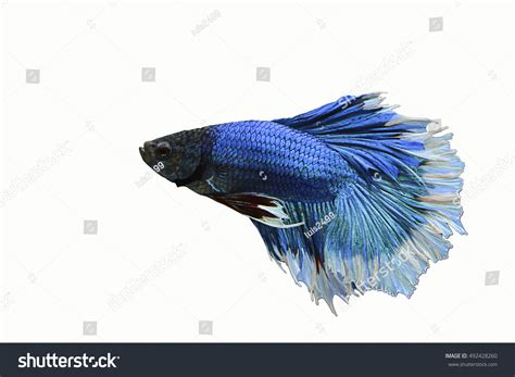 beautiful blue color beautiful blue color half moon betta stock photo 492428260