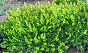 evergreen shrubs louie s nursery garden center