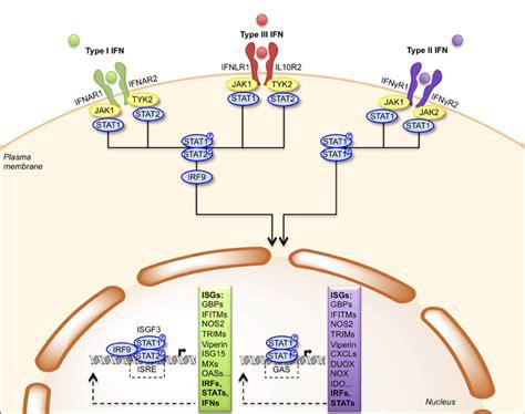 frontiers regulation of interferon gamma frontiers the bacterial pathogen listeria monocytogenes