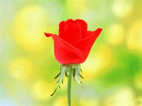 images of love roses the rose of love roses wallpaper 13966620 fanpop