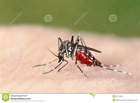 human skin royalty free stock photography cartoondealer 28539899 tiger mosquito on human skin royalty free stock photography cartoondealer 77372075
