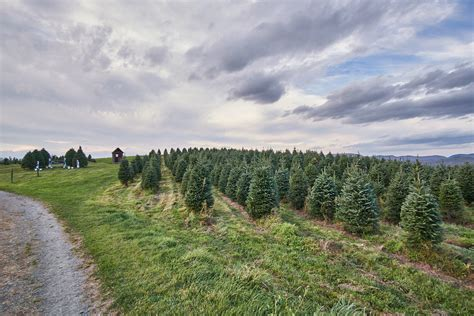 tree farms near sacramento central california valley tree farms trekaroo