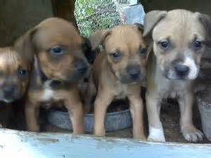 puppies for sale in statesboro ga puppies in