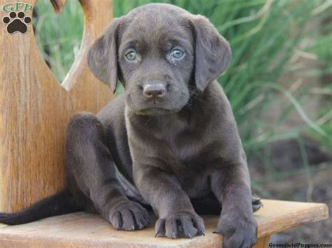 gray lab puppies 10 best images about gray lab on puppys gray and labs