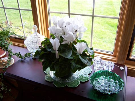 grow cyclamen plants indoors planters place