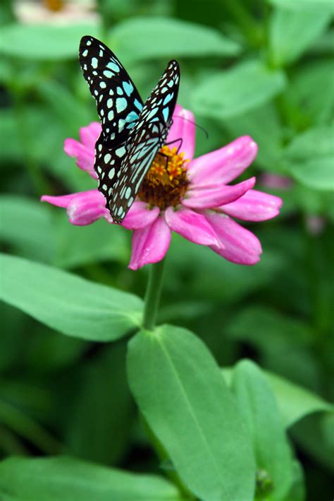 Butterfly P pink butterfly species