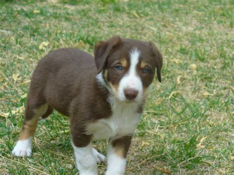 tricolor border collie puppy border collies for sale ads free classifieds