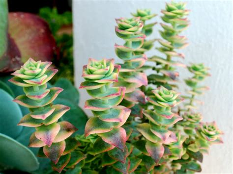 Names For Pale Yellow by Crassula Perforata Variegata Variegated String Of