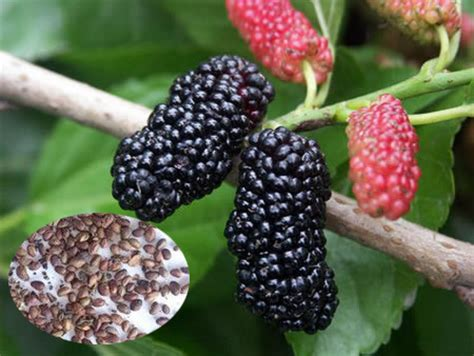 fruit tree seeds for sale fruit tree seeds mulberry tree seeds for sale view