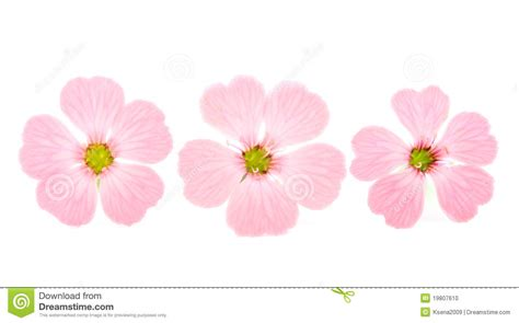 delicate pink flowers stock photo image 19807610