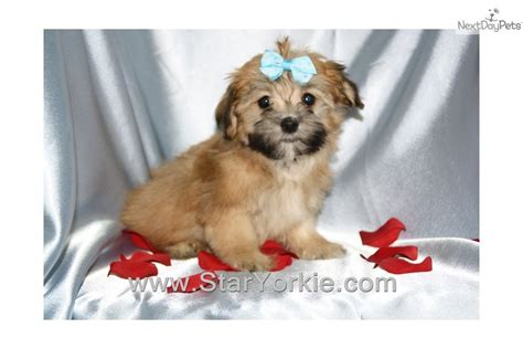 teacup havanese dogs pin teacup havanese dogs image search results on