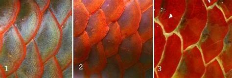 Bibit Arwana Merah variasi warna sisik ikan arwana informasi ikan ternak