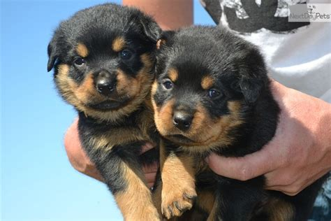 chion rottweiler puppies for sale pin chion puppy on