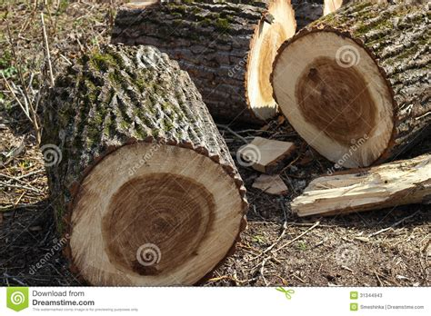 Cutting A Tree In Sections by Cut Sections Of Tree Trunk Stock Photos Image 31344943