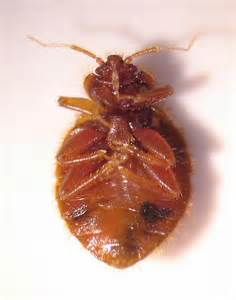bat bug vs bed bug bat bug vs bed bug 28 images bat bug bites www