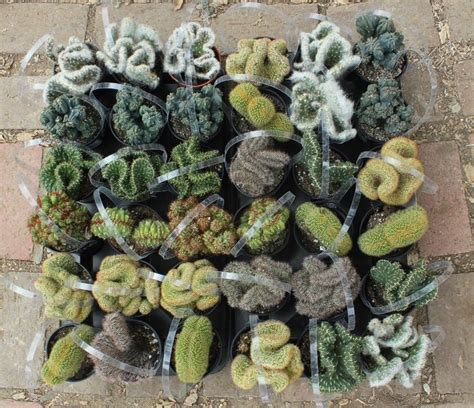 cactus for sale 126 best images about cactus for sale on gloves cactus for sale and