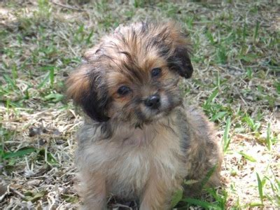 shih tzu yorkie mix puppies 24 pictures of shih tzu yorkie mix a k a shorkie and breed info animalso