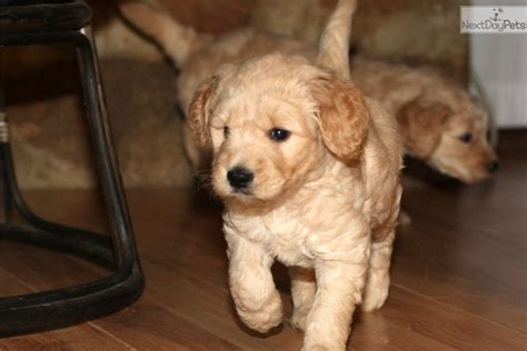 goldendoodle puppy crate mutt goldendoodle puppy for sale near richmond virginia