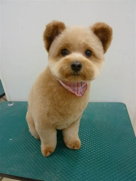 haircuts for shihchon dogs 14 best shadow images on pinterest dog haircuts