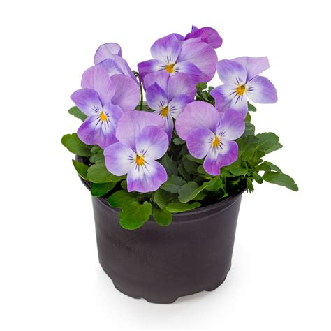 Lavender Pink viola petit lavender pink beekenk plants