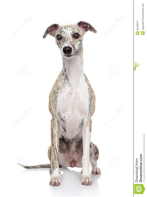 puppy on whippet on white background stock image image 25793571
