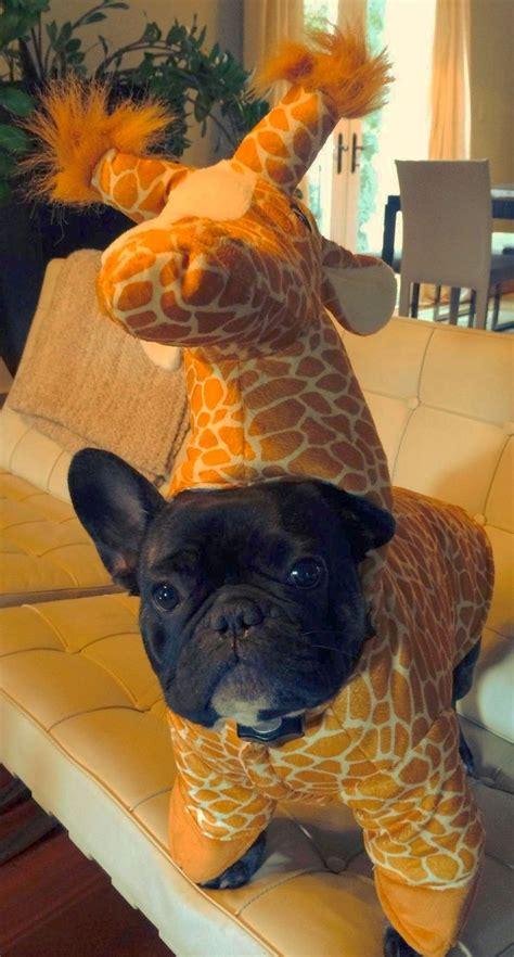 pug costume for best 25 pugs in costume ideas on pug costume
