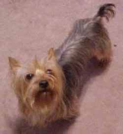are yorkies born with tails yorkie with breeds picture